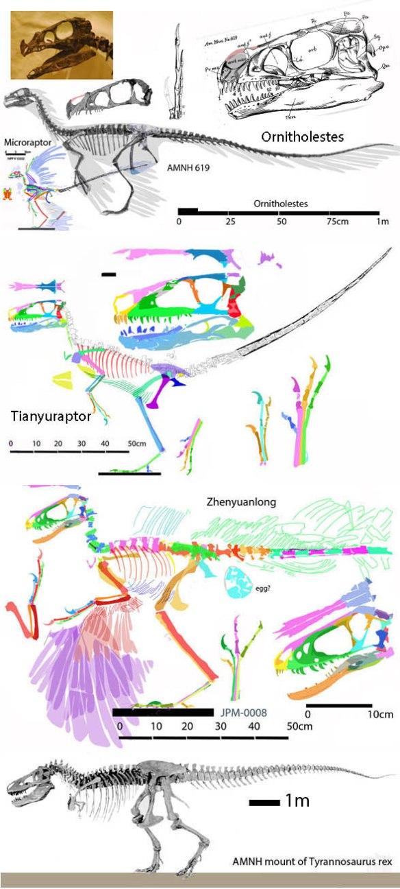 Figure 2. Ornitholestes, Tianyuraptor and Zhenyuanlong are close relatives of Fukivenator at the base of the tyrannosaur clade.
