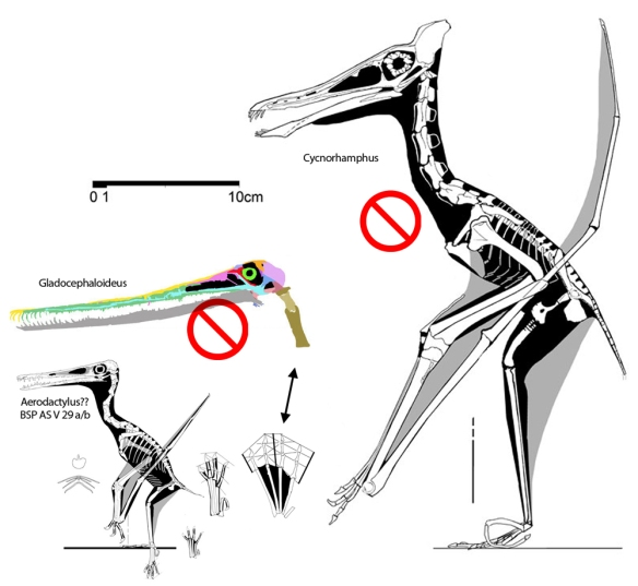 """Figure 4. Sister taxa of """"Aerodactylus"""" according to Vidovic and Martill 2014 include Gladocephaloides and Cycnnorhamphus. More rubbish."""