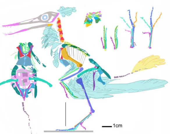 Figure 3. Reconstruction of the basal ornithuromorph bird, Archaeornithura with skull added. Feathers and ribs omitted. The length of the tail is hard to determine.