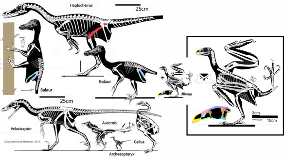 Figure 1. Balaur compared to various dromaeosaurids and to Sapeornis, both to scale and enlarged for detail. Cau, Brougham and Naish wondered if Balaur was the first neoflightless bird, a sort of dodo of the Cretaceous.