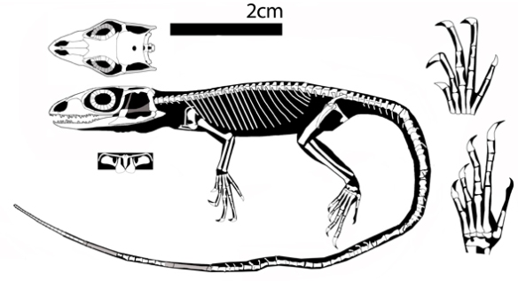 Figure 4. Calanguban nests as a sister to JZC Bu 1803 in the large reptile tree.