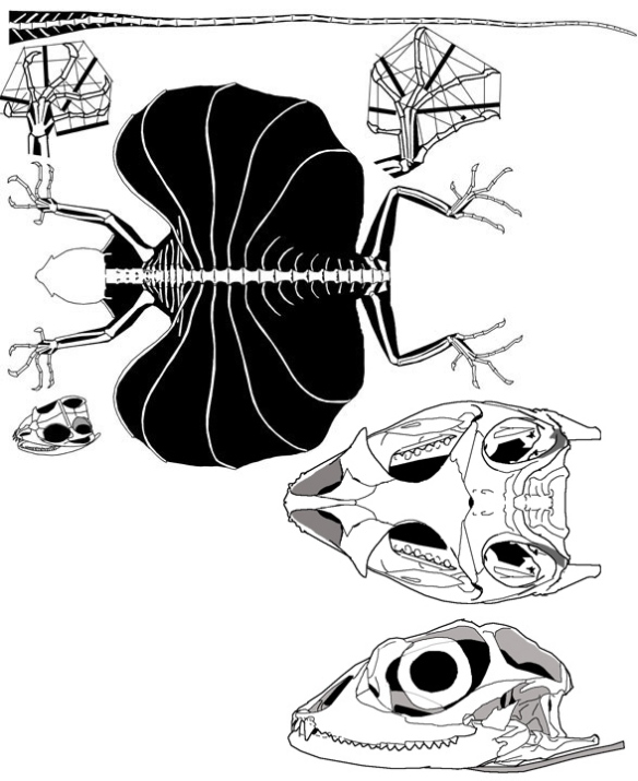 Figure 1. Draco volans. Note the anterior maxillary fangs, and the antorbital fenestra between the lacrimal and prefrontal, traits shared with Chlamydosaurus (Fig 2).