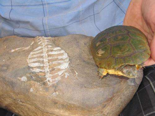 Figure 1. This looks like Eunotosaurus (fossilized at left) is the ancestor to the extant turtle (in vivo at right), but phylogenetic analysis tells us this is just a case of convergence.