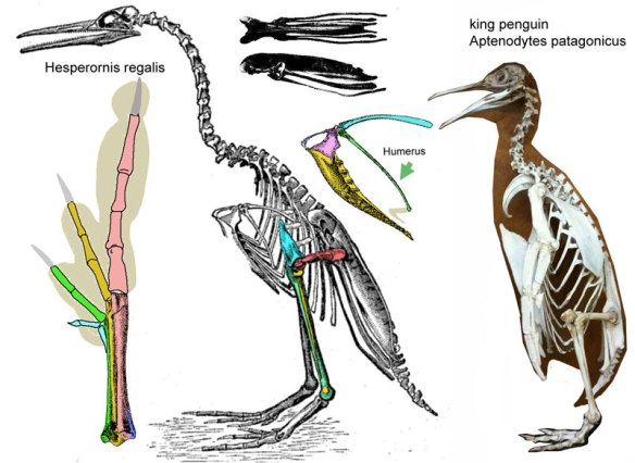 Figure 1. Hesperornis compared to a king penguin, Atenodytes. Hesperornis has larger feet and a longer tibia. Since penguins swim with their forelimbs, they have large pectoral muscle anchors. That is not the case with Hesperornis.