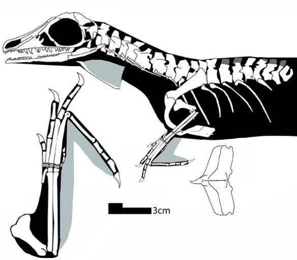 Figure 2. Updated figure of Kyrgyzsaurus.  Note the tiny forelimbs and large hyoid, as in Sharovipteryx.