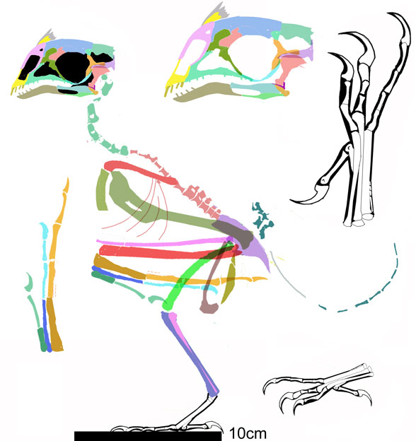 Figure 1. Omnivoropteryx reconstructed from an X-ray photograph.