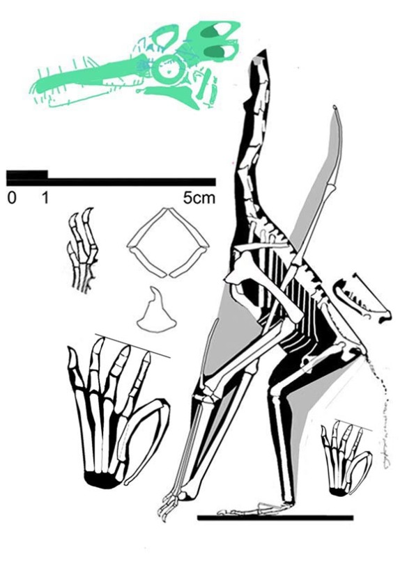 Figure 2. The holotype of Pterodactylus micronys, aka the Pester specimen, may preserve ephemeral hints of its apparently missing skull.