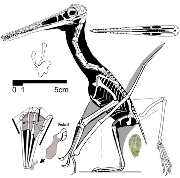 Figure 4. Pterodactylus scolopaciceps reconstructed with the passenger shown here expelled. It is the right size, shape and morphology to be an embryo within an egg.