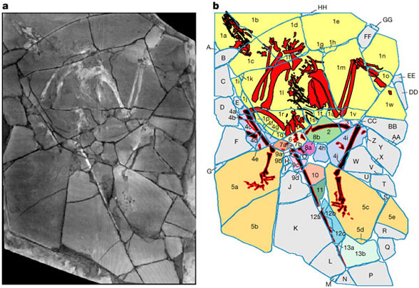 Figure 1. Archaeoraptor from Rowe et al. 2000. Colored areas indicate different sources for matrix and fossils there in.