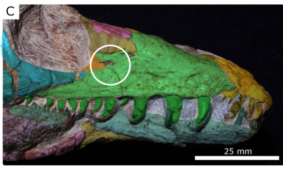 Figure 2. The rostrum of Teyujagua with the vestigial antoribital fenestra circled here. You can see how the maxilla grew over the opening. Once again, this is data that should have been announced from firsthand observation by PhD level paleontologists, not from a casual observer of photographic data.