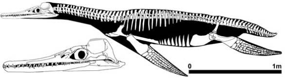 Figure 3. The plesiosaur Trinacromerum has a parietal crest, but it was laterally packed with jaw muscles.