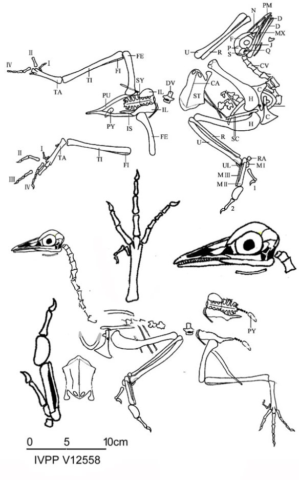 Figure 4. Yanornis martini holotype (IVPP V12558, Zhou and Zhang 2001) as originally traced and reconstructed by moving those traced lines back to in vivo positions.