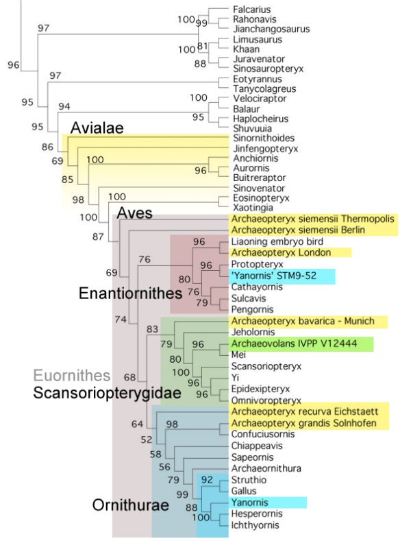 Figure 7. Bird cladogram with the latest additions. Here the referred specimen of Yanornis nests with enantiornithes while Archaeovolans nests within the Scansoriopterygidae, not with Yanornis.