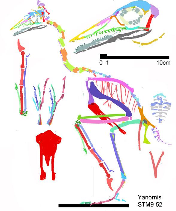 Figure 6. Specimen STM9-52 assigned to Yanornis by Zhenget al. 2014.