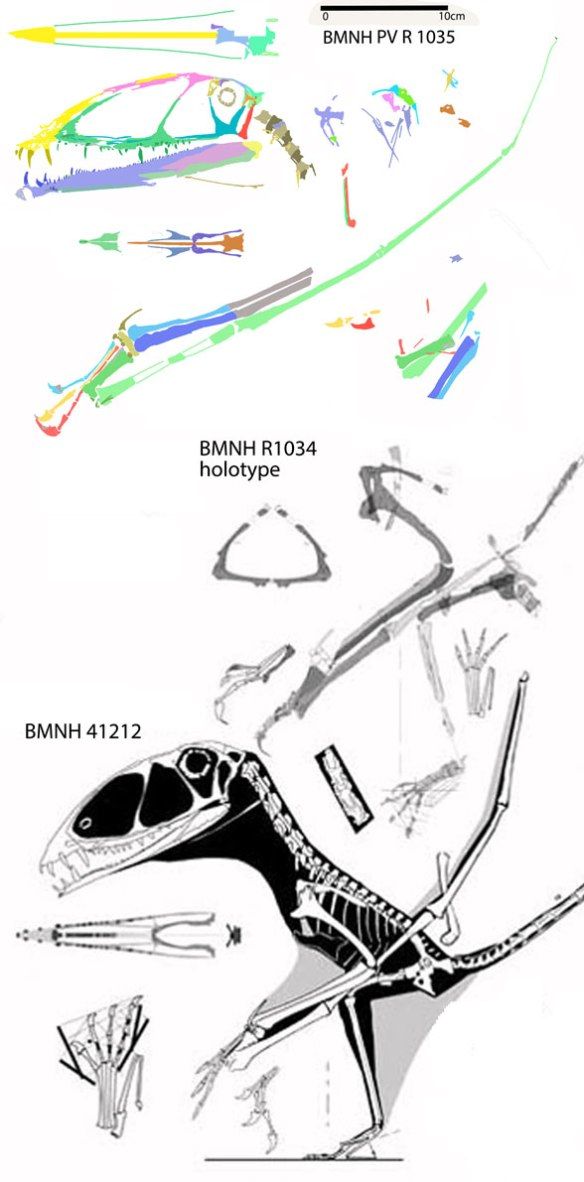 Figure 1. The three most complete Dimorphodon specimens, BMNH 41212, BMNH R1034, and BMNH R1035.