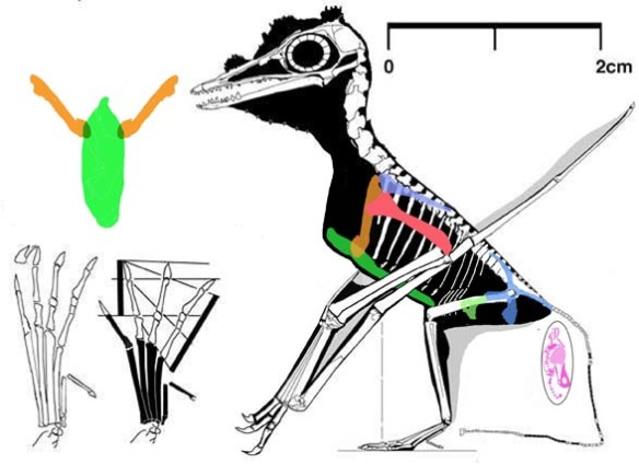 Figure 1. Pterodactylus? kochi? B St 1967 I 276 (No. 6 of Wellnhofer 1970) is the smallest known adult pterosaur. It is also pregnant. Note the relatively enormous sternal complex, analogous to that of a hummingbird of similar size.