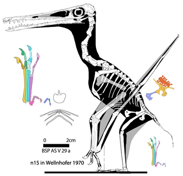 Figure 5. Pterodacatylus specimen BSP AS V 29a/b reconstructed from DGS tracing (fig. 4).