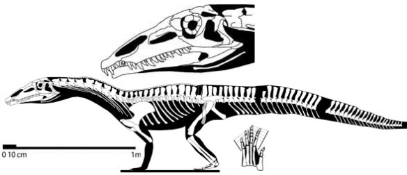 Figure 4. Qianosuchus shares quite a few traits with Spinosaurus, sans the frill. Qianosuchus has similarly-sized limbs.