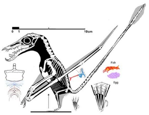 Figure 1. Rhamphorhynchus intermedius (n28) reconstructed.
