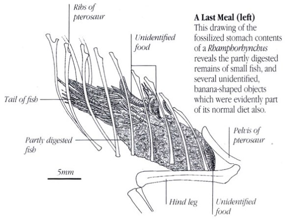 Figure 2. Wellnhofer 1991 illustrates the abdominal mass as part of a fish and other unidentified elements.