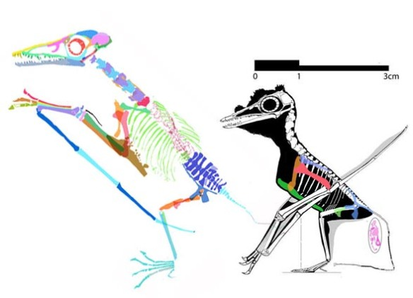 Figure 4. Two of the smallest pterosaurs that both have a large sternal complex. BMNH42736 and B St 1967 I 276.