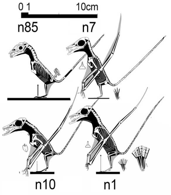 Figure 1. Several tiny Rhmphorhynchus adults, among them is the n7 specimen tested by Prondvai et al. and considered a juvenile by them.