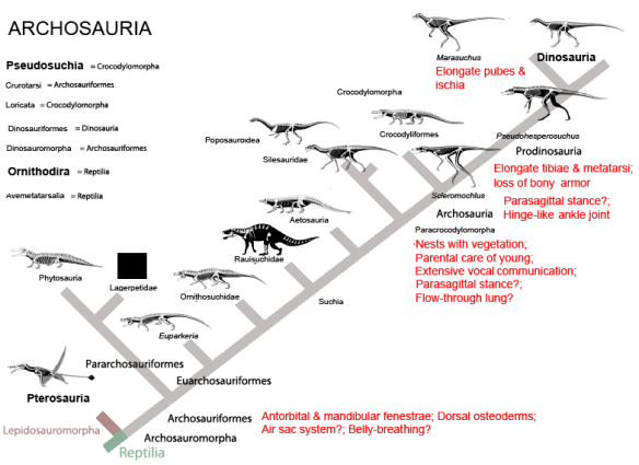 Figure 2. Same cladogram rearranged to more closely match the large reptile tree. Note how, even at this scale, the gradual evolution of dinosaur traits is not interrupted by the odd morphology of pterosaurs. And how the basal bipedal crocs nest close to the basal bipedal dinos. Click to enlarge.