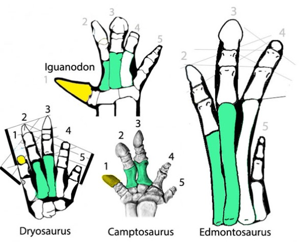 Figure 1. Ornithopod manus. Here the hands of Dryosaurus, Camptosaurus, Iguanodon and Edmontosaurus are compared. Note the turquoise metatarsal homologies and the digit identifications based on that.