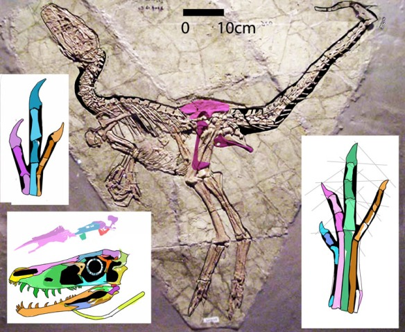 Figure 1. Huaxiagnathus in situ with reconstructed skull, pes, manus and pelvis. Note the relatively large pedal digit 3, the large hyoid, and the twisty lacrimal. Hwang et al. did not provide a reconstruction.