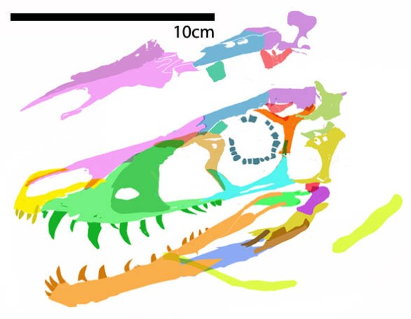Figure 4. Huaxiagnathus skull and hyoid reconstructed. See figure 4b for other clade member skulls.