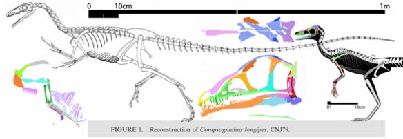 Figure 1. The large (from Peyer 2006) and small Compsognathus specimens to scale. Several different traits nest these next to one another, but at the bases of two sister clades. Note the differences in the forelimb and skull reconstructions here. There may be an external mandibular fenestra. Hard to tell with the medial view and shifting bones.