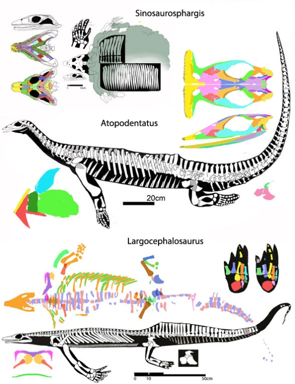 Figure 2. Atopodentatus nests with two other pre-sauropterygian marine younginforms, Sinosaurosphargis and Largocephalosaurus.