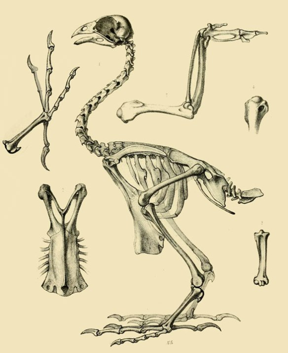 Figure 2. The hoatzin, Opisthocomus, skeleton is quite similar to that of Gallus, the chicken. Juveniles do not have fused fingers.