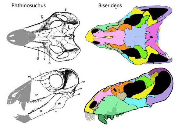 Figure 1. Biseridens and Phthinosuchus, two related therapsids that have been giving paleontologists fits.