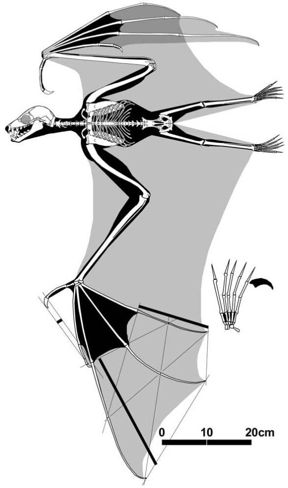 Figure 2. Pteropus, a fruit bat.