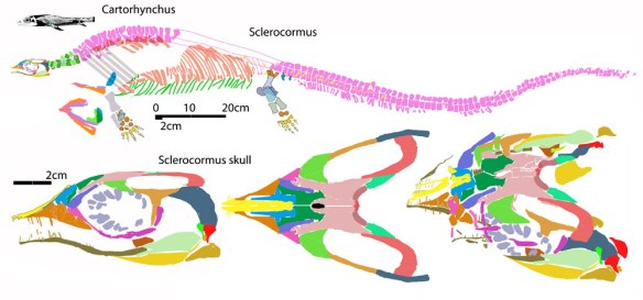 Figure 1. Large Sclerocormus and its much smaller sister, Cartorhynchus. These nest with basal sauropterygians, not ichthyosauriforms.