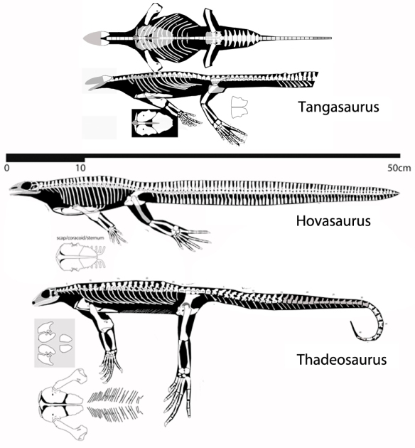 Figure 1. Tangasaurus, Hovasaurus and Thadeosaurus, three marine younginiformes, apparently have no scapula.