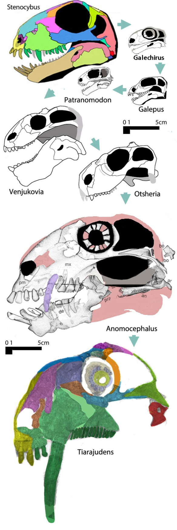 Figure 3. Venjukoviamorphs include the dicynodont mimics, Tiarajudens and Anomcephalus. now with long canines.