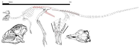 Figure 3. Agilisaurus, like Stegoceras, was a biped with tiny forelimbs and a long tail, providing the blueprint for later pachycephalosaurs.