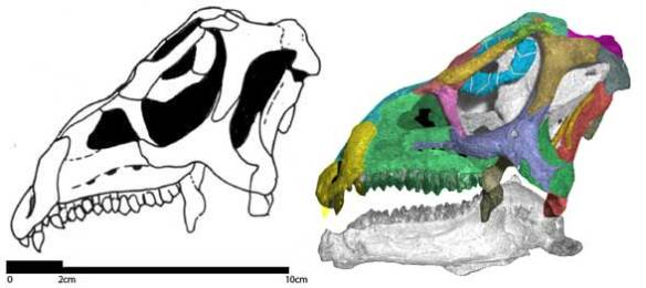 Figure 1. The skull of Agilisaurus (Late Jurassic) provides the bauplan for the skull of more derived pachycephlosaurs, like Stegoceras.