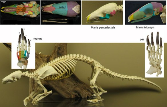 Figure 2. Manis, the Chinese Tree Pangolin along with other views of other pangolins