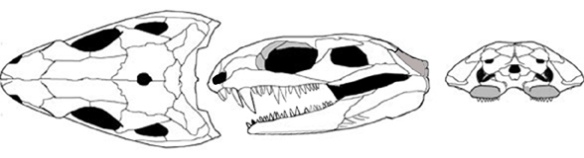 Figure 3. Eothyris skull in three views. This taxon is the closest known relative to Colobomycter.