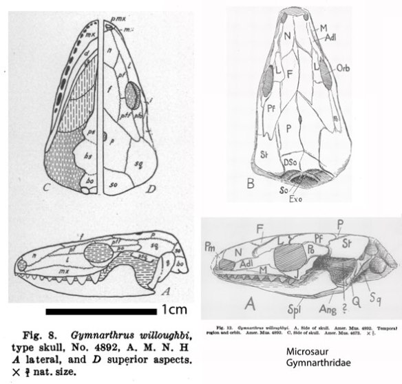 Figure 1. Gymarthrus willougbyi, drawn by Case 1910 on the left and von Huene 1913 on the right.