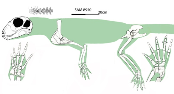 Figure 1. Published material on Hipposaurus permits one to create a reconstruction like this. Not far removed from its ophiacodont / haptodine / pelycosaur precursors, Hipposaurus had longer, more gracile limbs and a distinct sabertooth canine, like Haptodus or Cutleria on steroids!