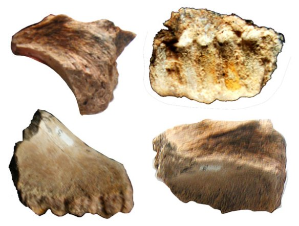 Figure 3. Back portion of a Hypsibema maxilla showing tooth root grooves and cheek indention close to jugal.