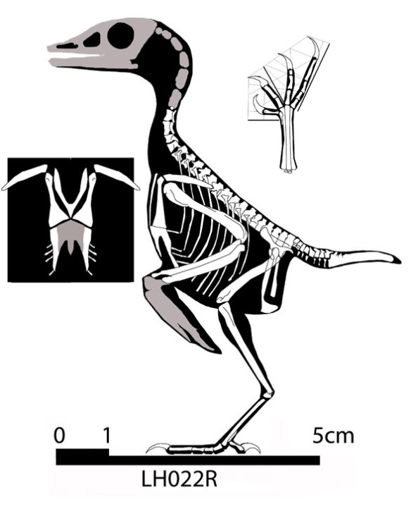 Figure 1. Iberomesornis revisited. One of the smallest of the enantiornithes birds has a long pedal digit 4.