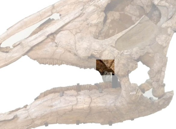 Figure 2. Where the Hypsibema maxilla chunk came from on the skull of Saurolophus.