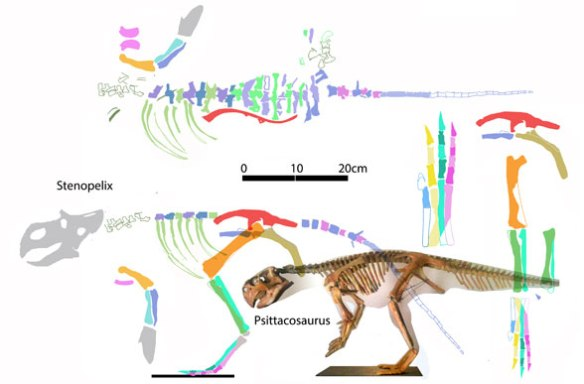 Figure 1. Stenopelix reconstructed in lateral and dorsal views to scale with Psittacosaurus. The curved ischium and short tail with short chevrons allies Stenopelix with ceratopsians.