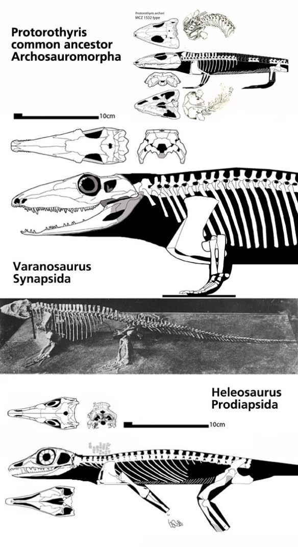 Figure 1. Taxa at the split between Synapsida and Diapsida (Prodiapsida): Varanosaurus and Heleosaurus to scale along with their common ancestor, Protorothyris.