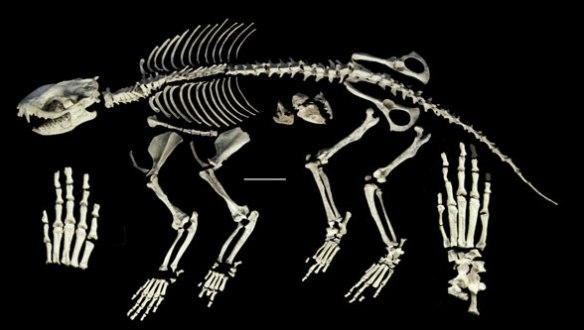 Figure 5. Alcidedorbignya bones remarkably complete for the Paleocene, 65 mya and remarkable prepared.